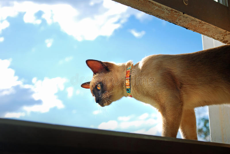 Burmese pet cat climbing and looking out of home window royalty free stock photos