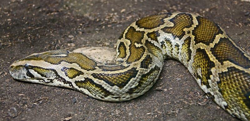 Burmese python 1. Burmese python on the sand stock photos