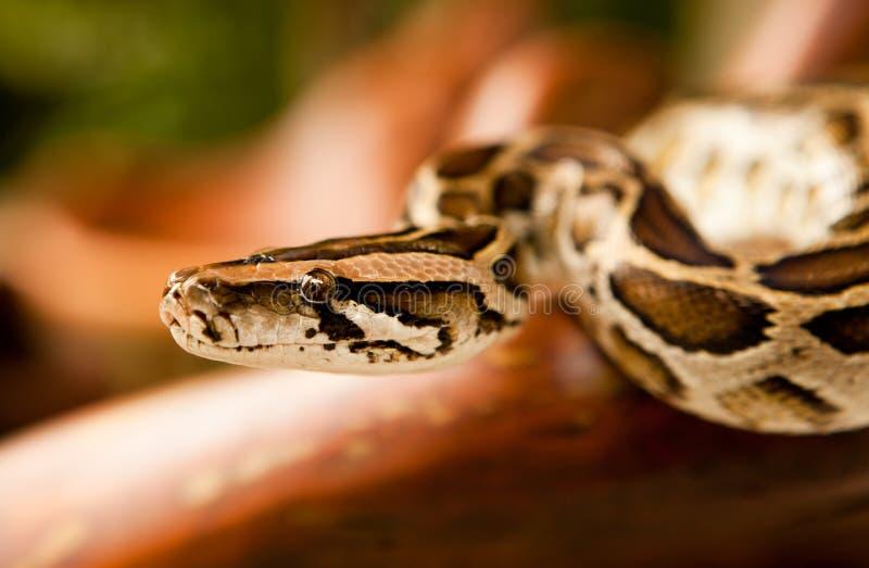 Burmese python. A close-up view of a Burmese python royalty free stock photo