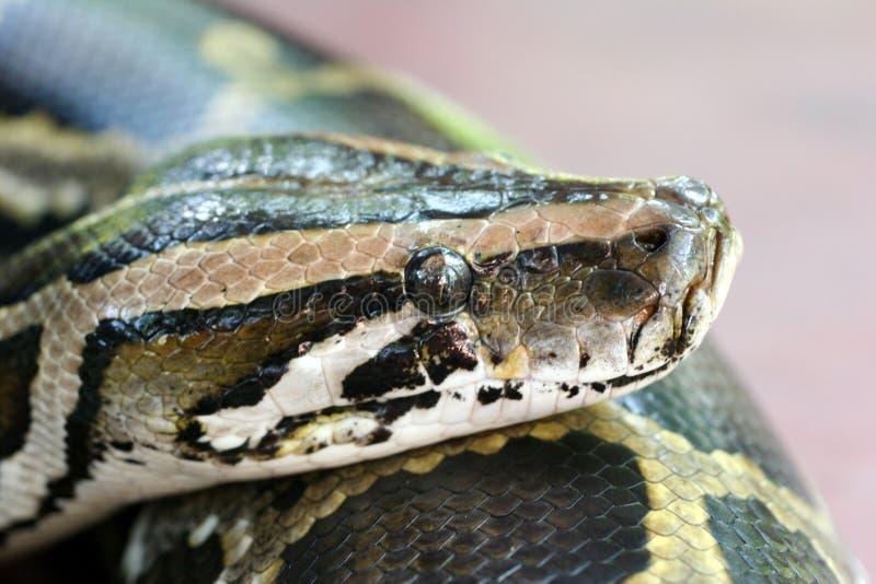 Burmese Python. Close up head shot of a Burmese Python in a petting zoo royalty free stock photos