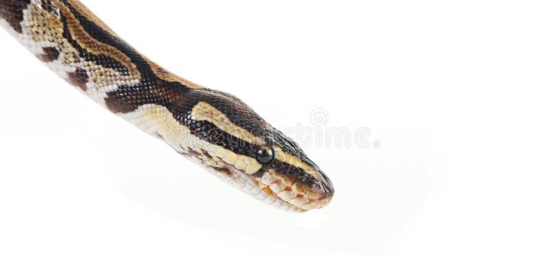 Burmese python. On white background royalty free stock image