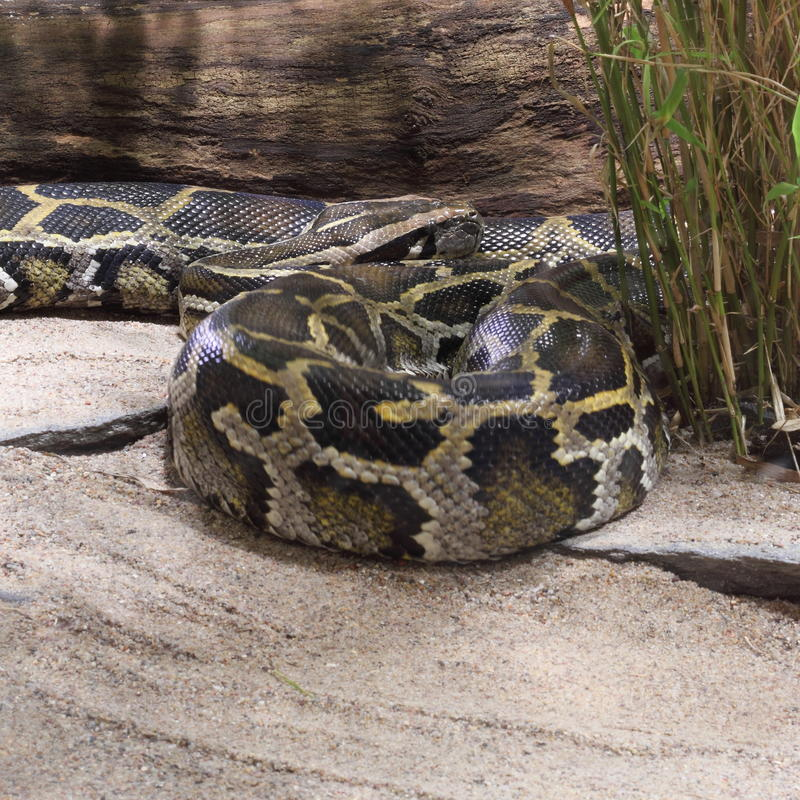 Burmese Python. (Python bivittatus) laying on sand royalty free stock photos