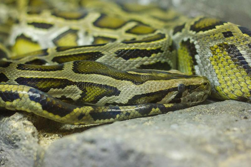 Burmese python curled up on the rock. Burmese python is a large, non-toxic snake similar to a boa stock images