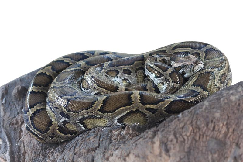 Burmese python danger animal. stock image