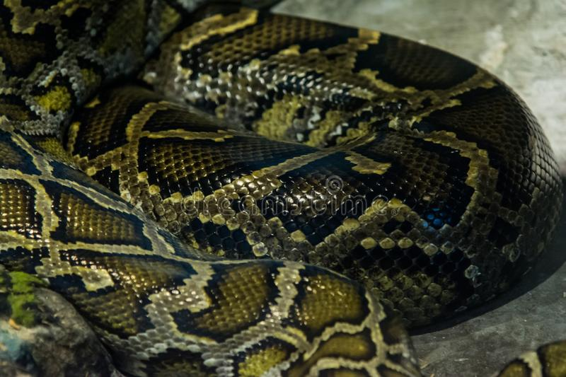 Burmese Python in the jungle royalty free stock photo
