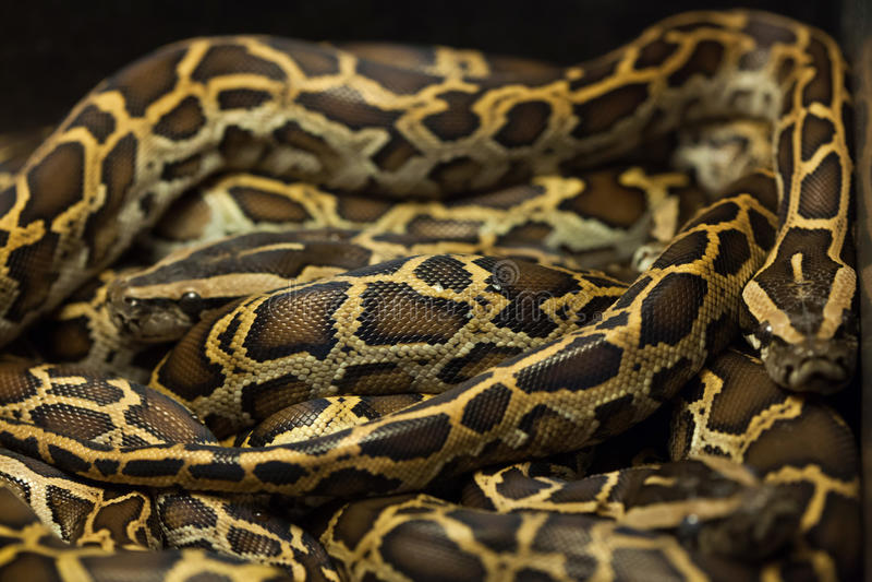 Burmese python (Python bivittatus). Wild life animal stock photo