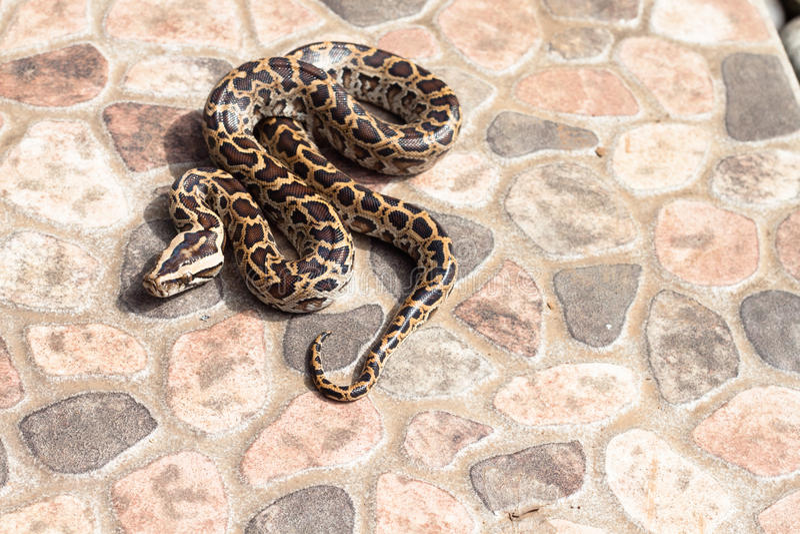 Burmese Python (Python Molurus Bivittatus) On The Backyard Royalty Free Stock Photography