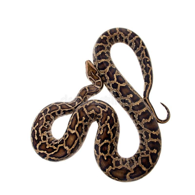 Burmese python on white background. Burmese Python, Python molurus bivittatus, isolated on white background royalty free stock photo