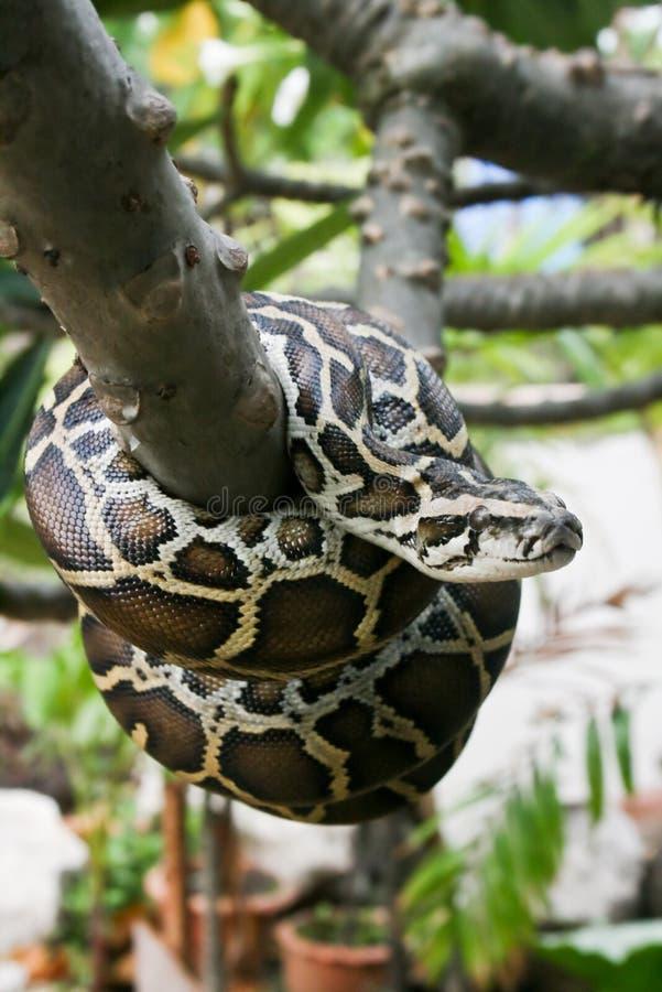 Burmese python. A Burmese python on the tree stock images
