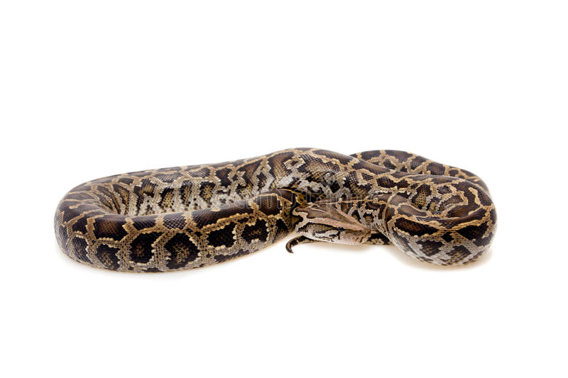 Burmese python on white background royalty free stock images