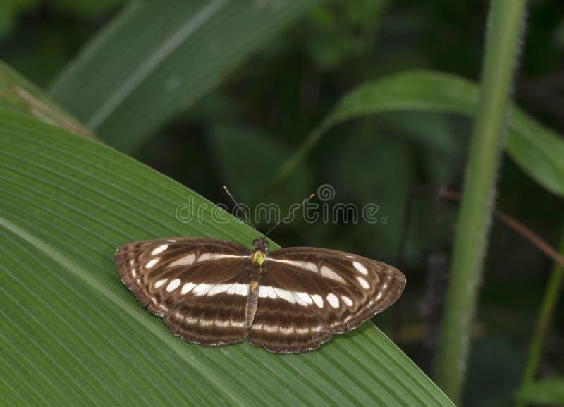 Burmese Sailor, Neptis leucoporos cresina, Garo Hills, Meghalaya, Indien lizenzfreies stockbild