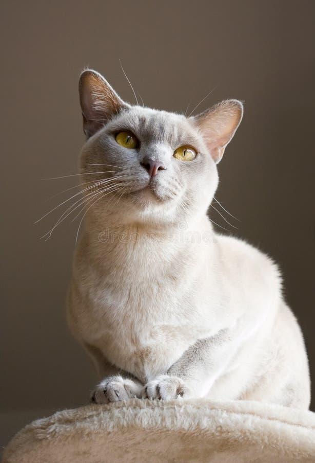 Burmese shorthair cat stock images