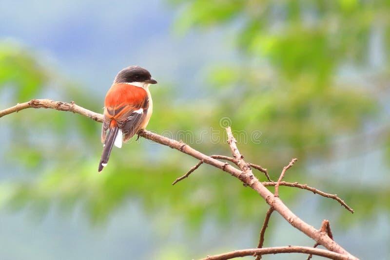 Burmese Shrike. On dry branches  in the winter season stock image