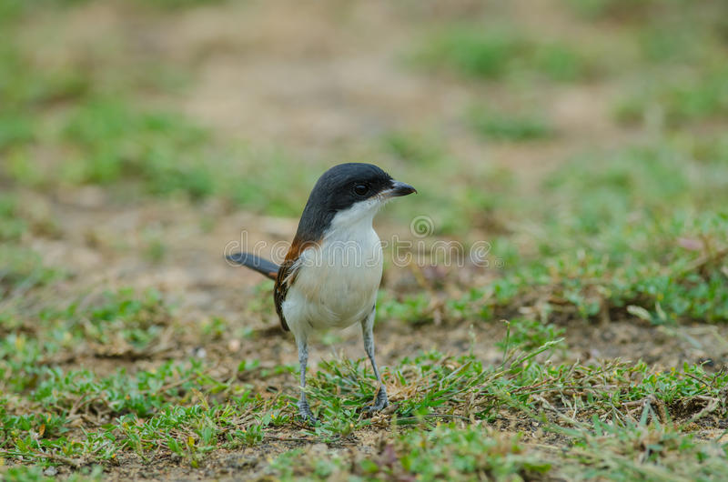 Burmese Shrike on ground stock images