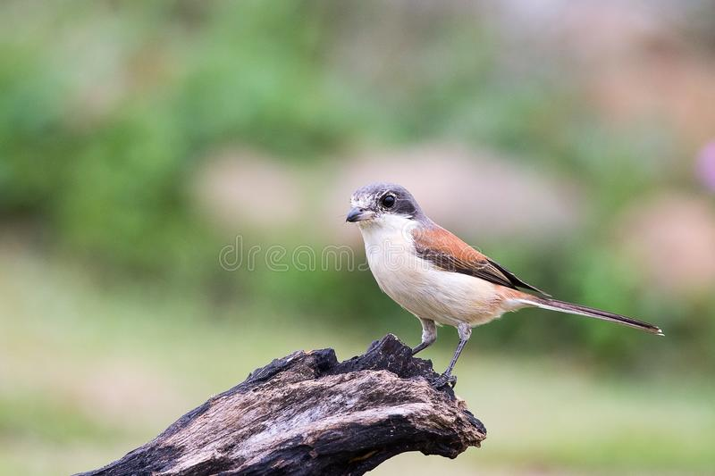 Burmese Shrike. Immigration bird Burmese Shrike in Tropical Park royalty free stock photo
