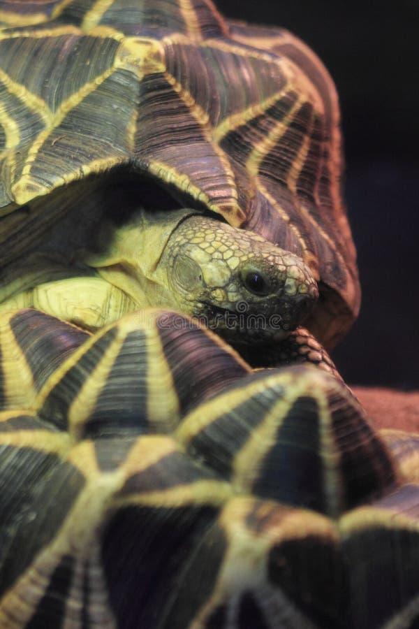Burmese star tortoise. The detail of burmese star tortoise royalty free stock photo