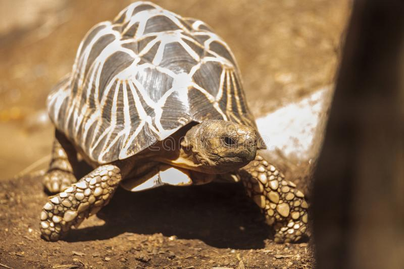 Burmese star tortoise Geochelone platynota. Is a critically endangered species found in Myanmar royalty free stock images