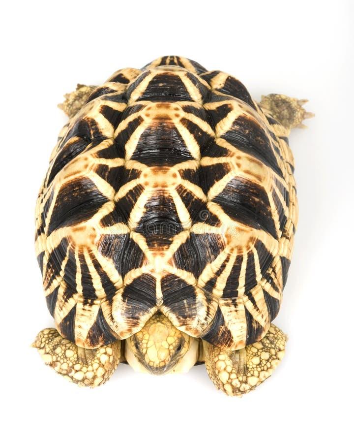 burmese stjärnasköldpadda arkivbild