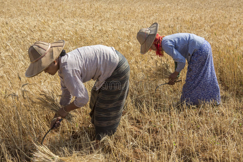 Harvesting - Burmese Agriculture - Myanmar (Burma). Burmese women harvesting a crop of wheat in the countryside near Kalaw in Shan State, Myanmar (Burma stock photo