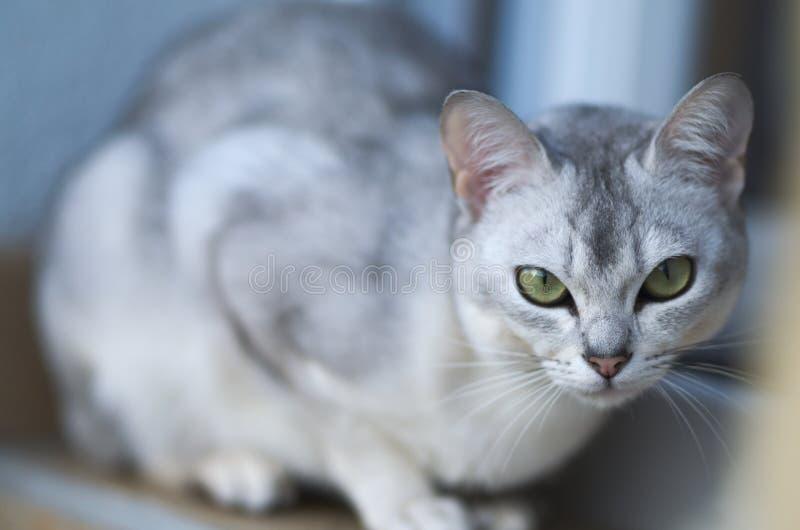 Burmilla金黄猫惊人的画象 免版税库存图片