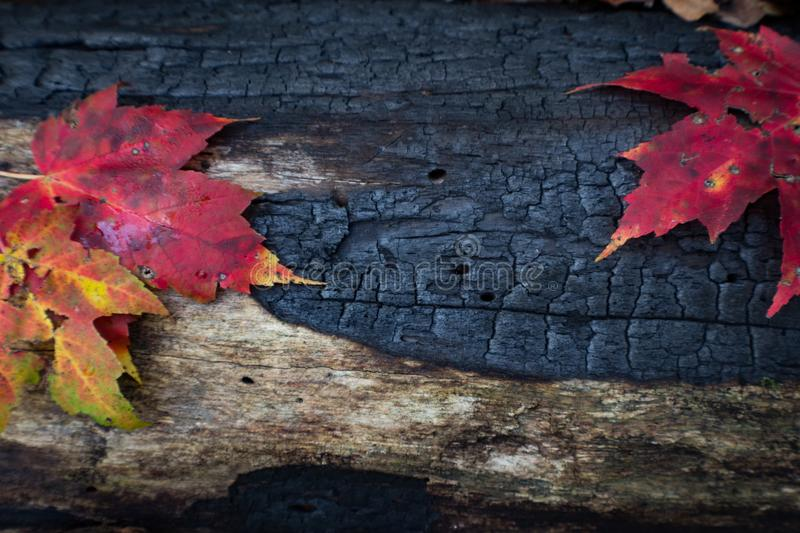 Burned and charred log detail background with several leaves. Horizontal aspect royalty free stock photo