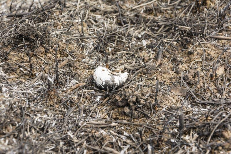 Burned Helix pomatia (Burgundy snail, Roman snail, edible snail, escargot) shell stock photography