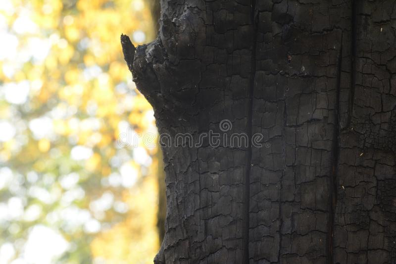Burned tree trunk in front of autumn leaves- detail macro shot autumn season photography. Burned tree trunk in front of autumn leaves, detail macro shot autumn royalty free stock photography