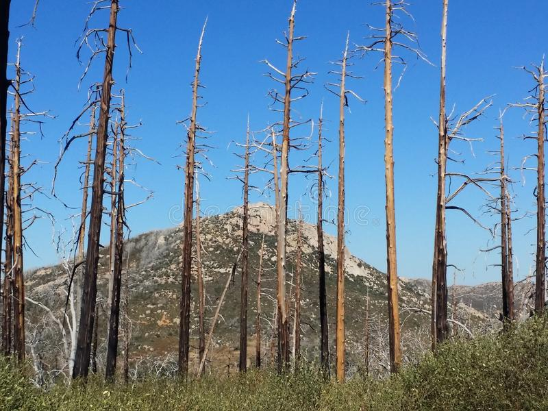 Burned trees in the forest blue sky. The beautiful burned trees in the forest are a reminder of a wildfire that cleared a path through the land royalty free stock photo