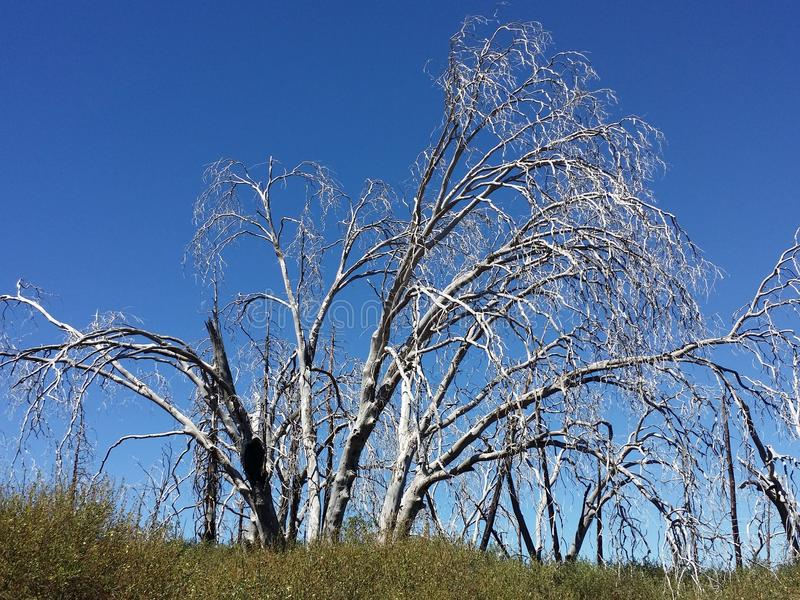 Burned trees in the forest blue sky. The beautiful burned trees in the forest are a reminder of a wildfire that cleared a path through the land royalty free stock photography