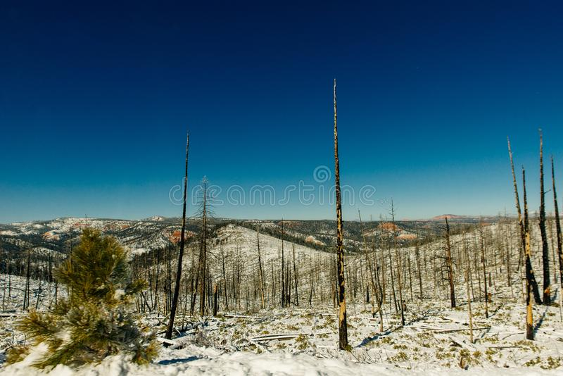 Burned trees in winter against the blue sky. bryce national park.  royalty free stock photo