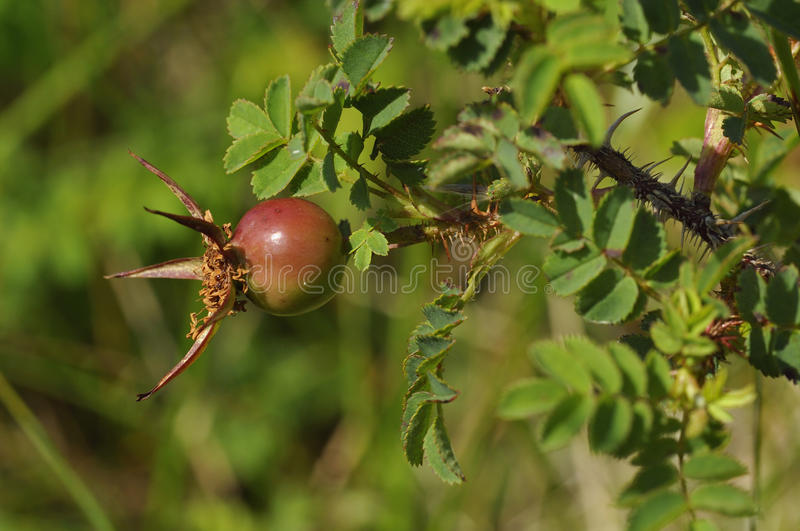 Burnet Rosa foto de stock royalty free