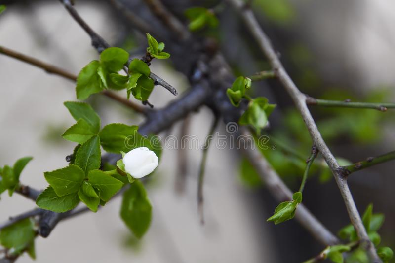 Burnet rose among the first vesicles of the spring begins to flourish. Blooming. white flowers on the branch with small green leaves suggest the beginning of royalty free stock photos
