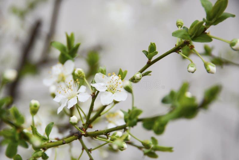 Burnet steg bland de första blåsorna av våren börjar att frodas arkivfoton