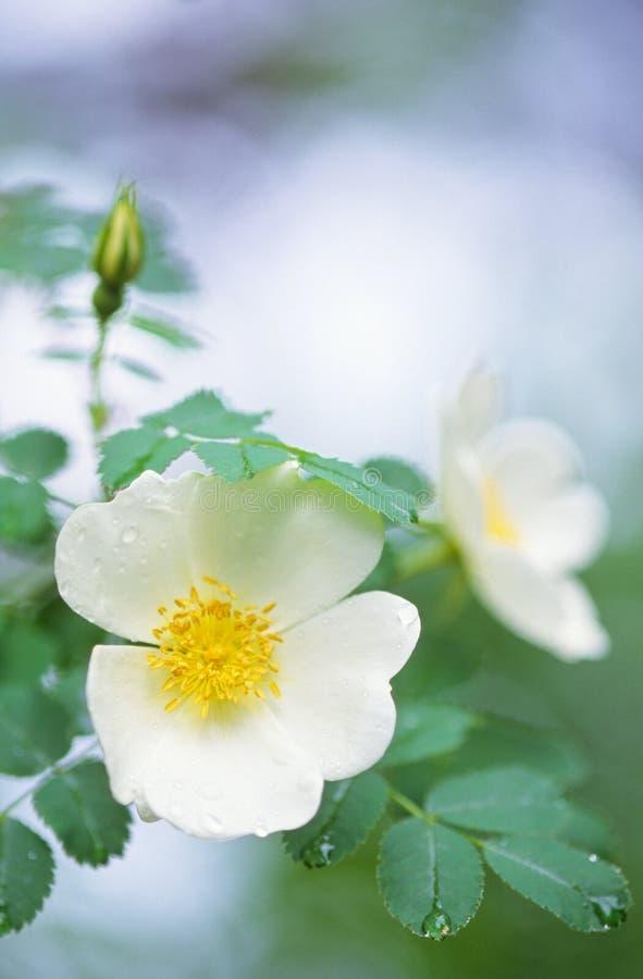 Burnet steg den Rosa pimpinellifoliaen i trädgården royaltyfria foton