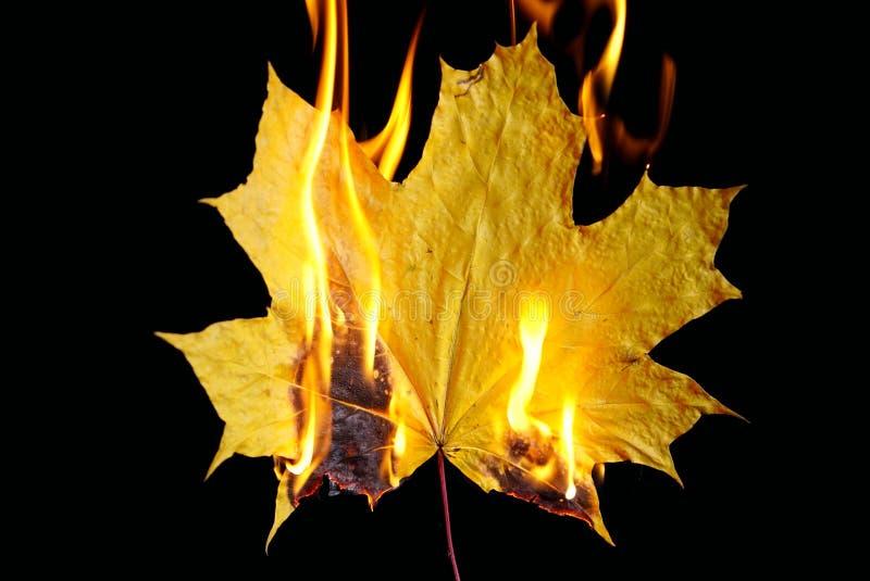 Burning autumn maple leaf on black background royalty free stock image