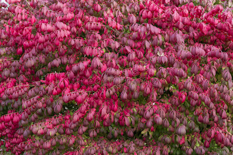 Download Burning Bush stock photo. Image of outdoor, leaves, background - 78958040