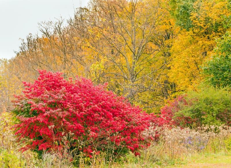 Burning bush, red Autumn shrub. Euonymus alatus, winged spindle, winged euonymus or burning bush,  Celastraceae, red Autumn shrub or bush, upstate rural New york stock photography