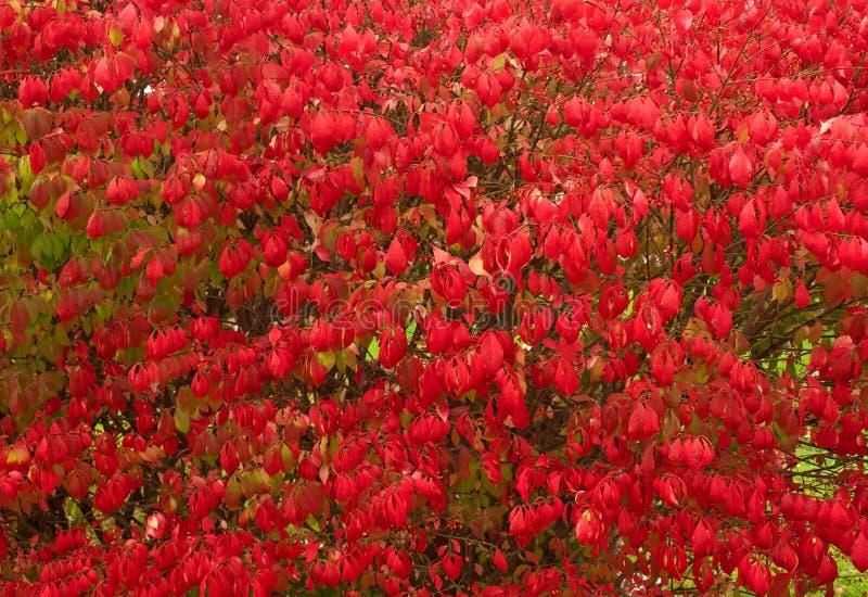 Burning bush shrub royalty free stock image