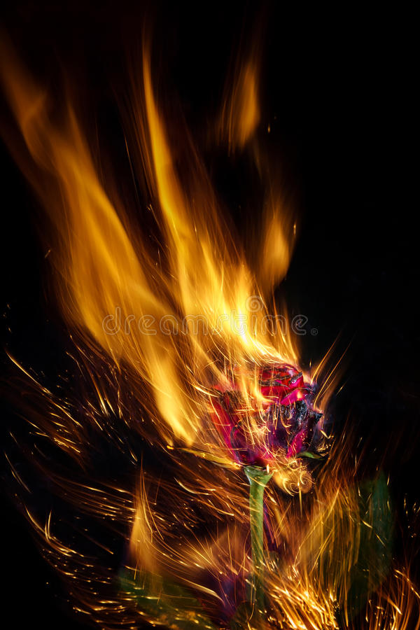 Burning Red Rose stock photography