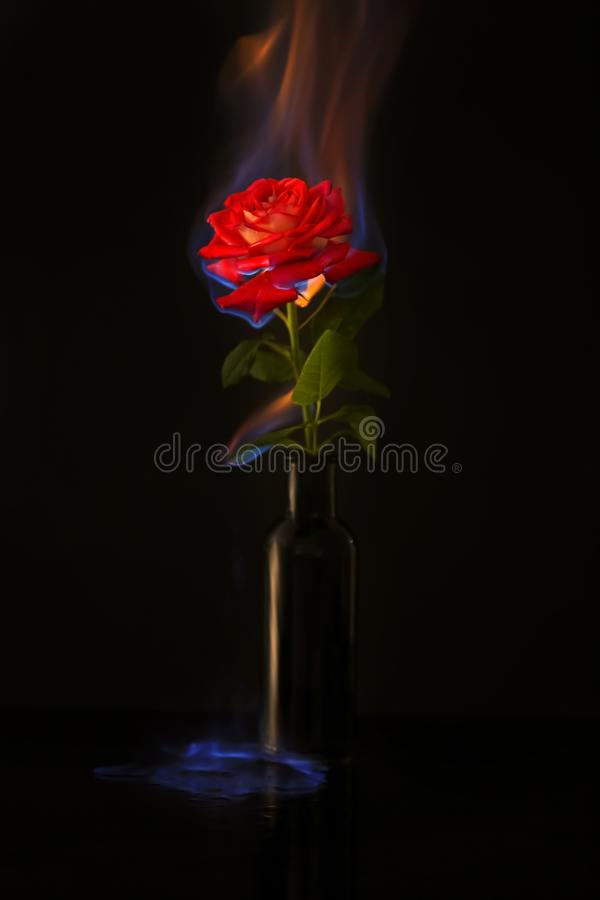 Burning rose stock photography