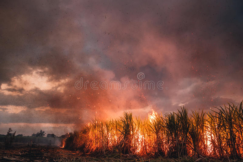 Burning the sugar cane. Belizean farmers burning a field of sugar cane to prepare it for harvest stock photo