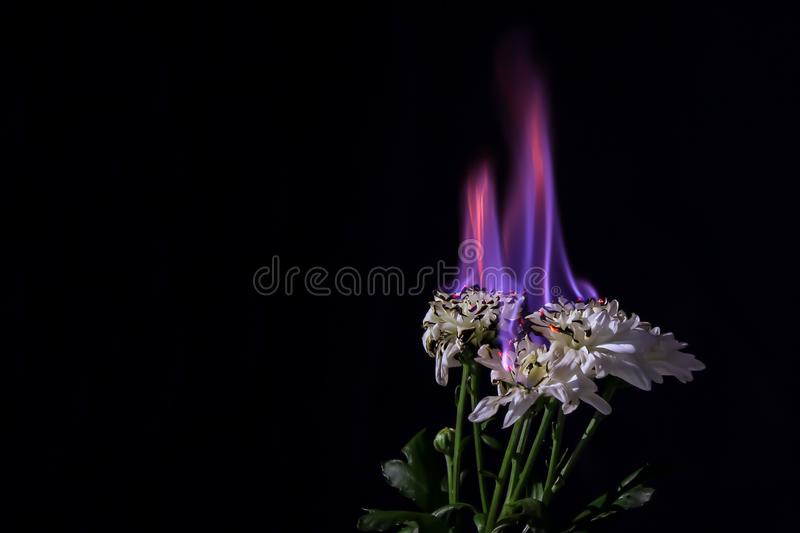 Burning white chrysanthemum in blue fire flame on black background, close-up royalty free stock photo
