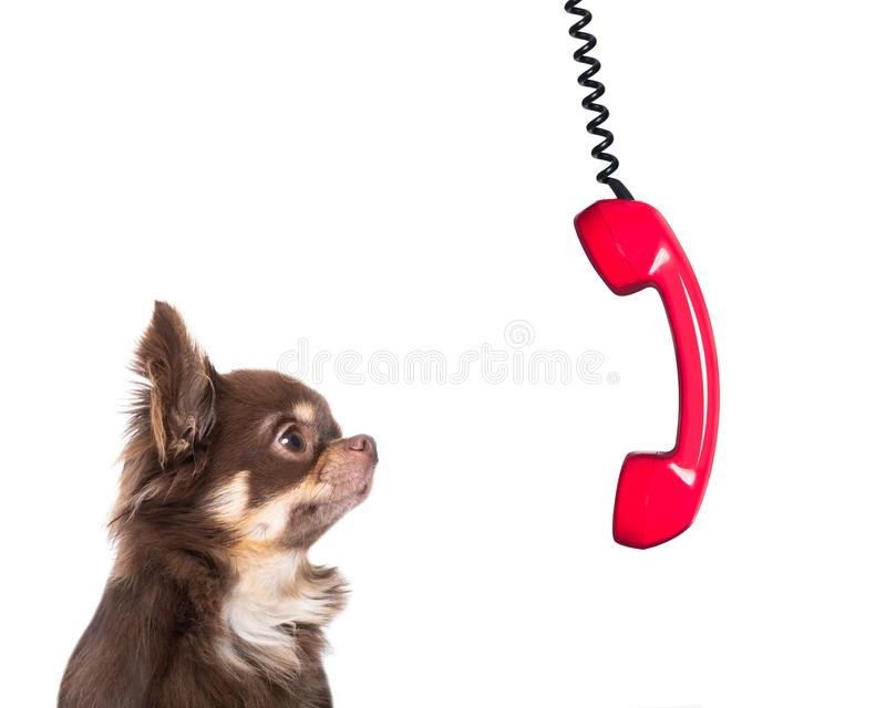 Burnout dog at work with telephone. Office businessman chihuahua dog as boss and chef , busy and burnout , feeling the pressure at work , telephone hanging down stock photos