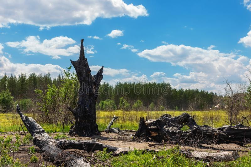 Burnt black crooked big old oak tree leftover hit by lightning and destroyed by fire in meadow near pine forest. Power of elements royalty free stock photography