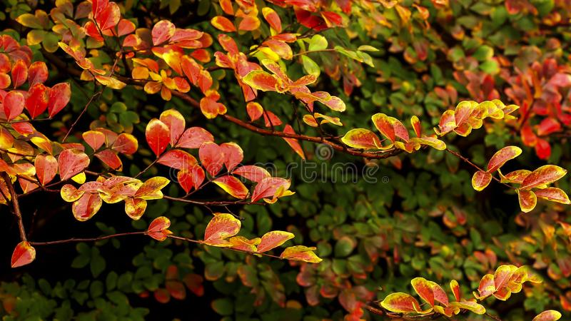Burnt Orange, Red, Green Crepe Myrtle leaves forming a colorful Hedge. royalty free stock image