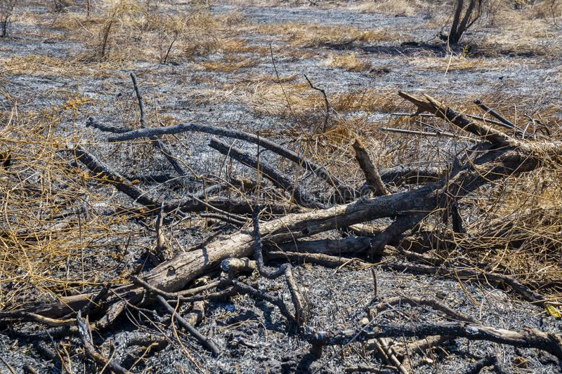 Burnt tree branches on the dry grassland royalty free stock images
