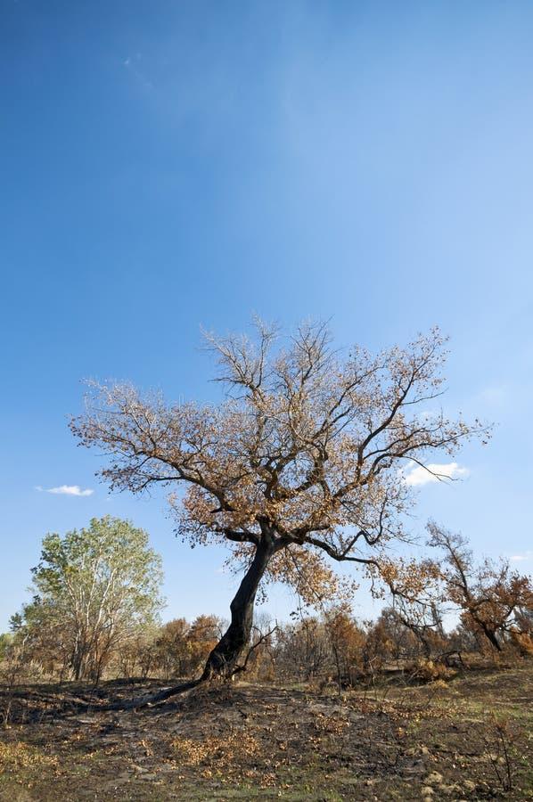 Burnt tree royalty free stock photo