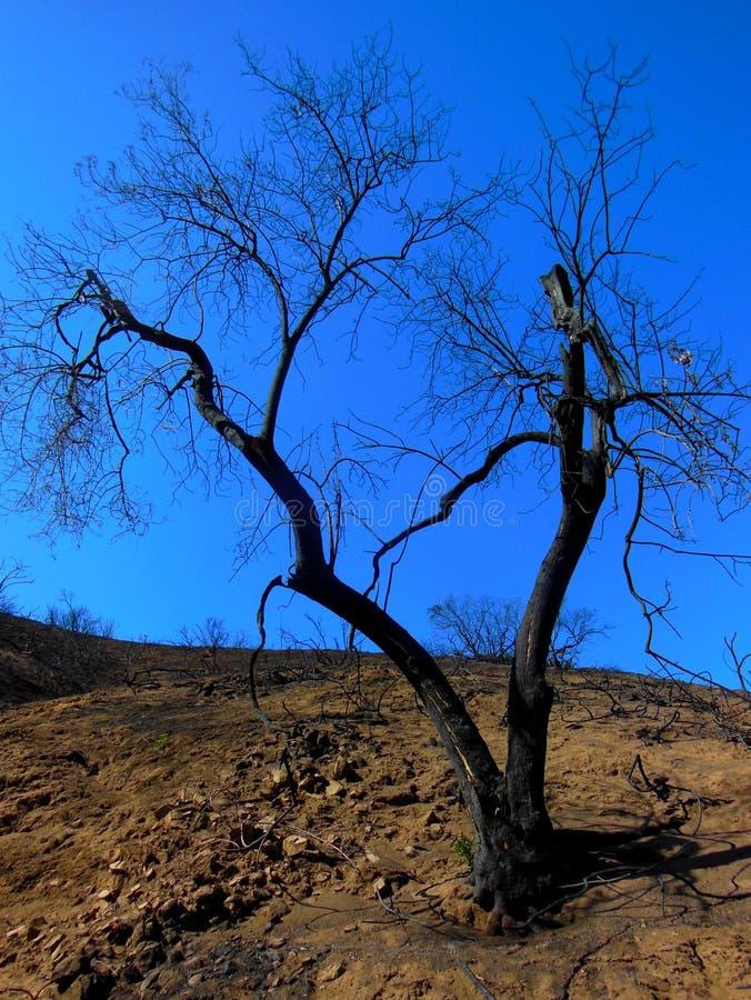 Burnt Tree royalty free stock image
