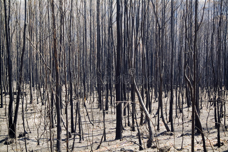 Burnt Trees. Aftermath of a bushfire, dead and blackened trees stock image