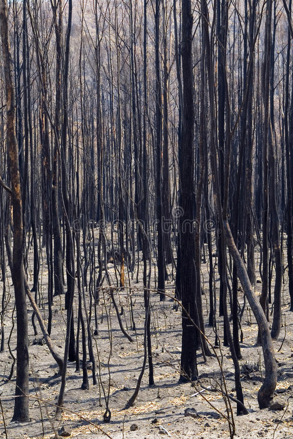 Burnt Trees. Aftermath of a bushfire, dead and blackened trees stock photography